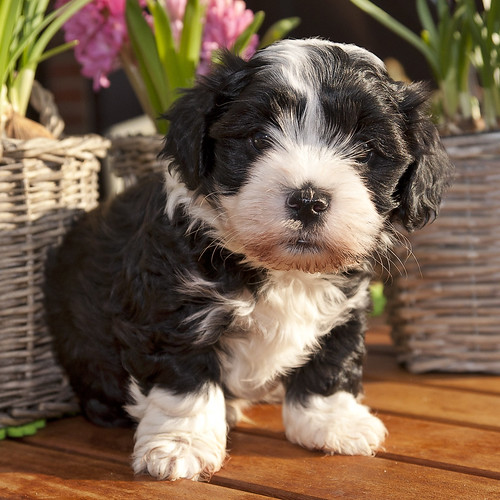Havanese puppy of 6 weeks innocent looking