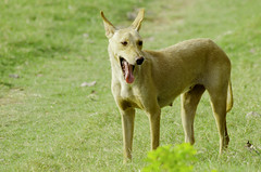 animal sports(0.0), czechoslovakian wolfdog(0.0), ibizan hound(0.0), wolfdog(0.0), saarloos wolfdog(0.0), dog breed(1.0), animal(1.0), dingo(1.0), dog(1.0), pet(1.0), mammal(1.0),