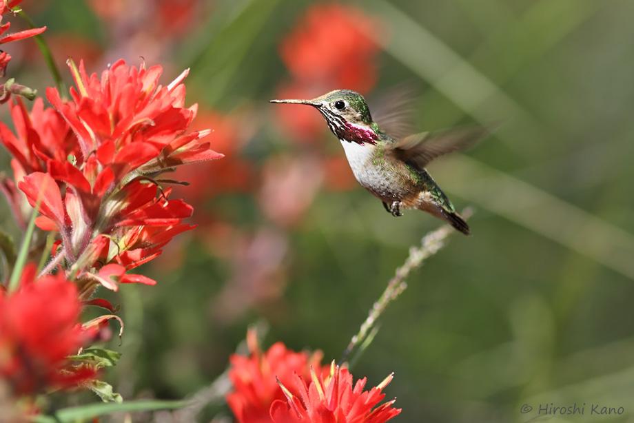 Calliope-Hummingbird-040814-5