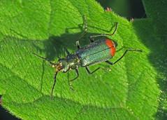 Common Malachite Beetle - Malachius bipustulatus