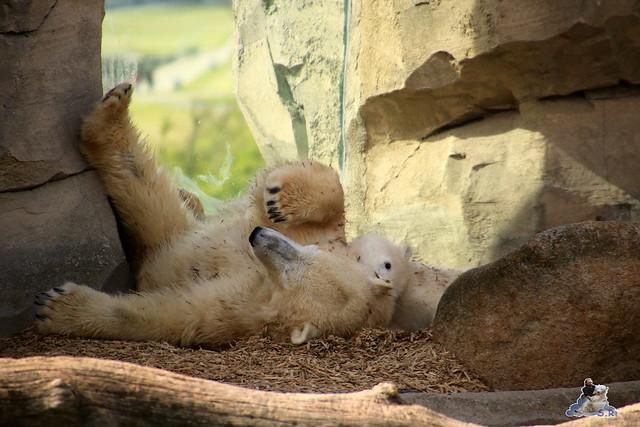Eisbär Lili im Zoo am Meer Bremerhaven 14.05.2016 Teil 1 0200