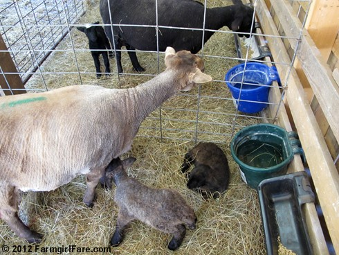 Monday morning lambing 1 - FarmgirlFare.com