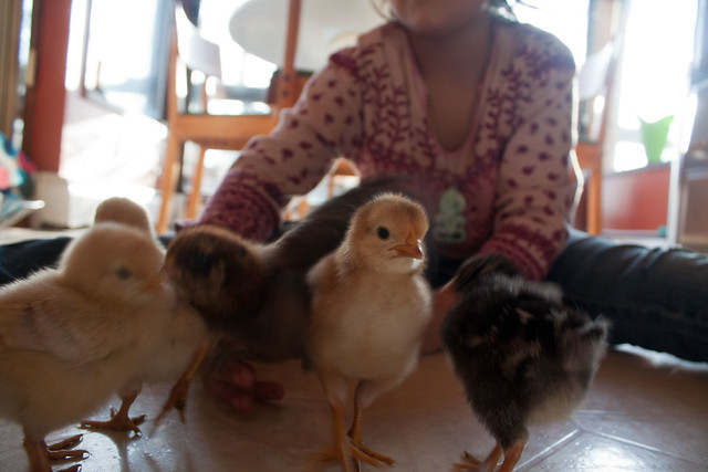 Photo of baby chicks and a girl