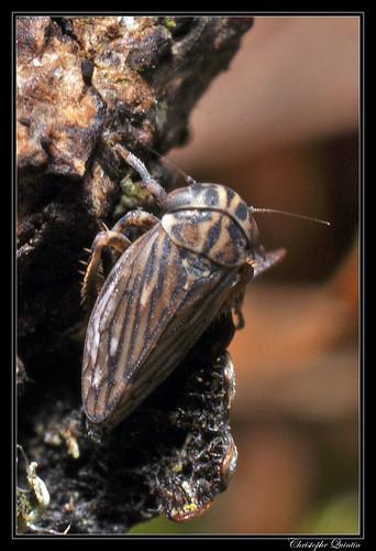 Anaceratagallia sp.