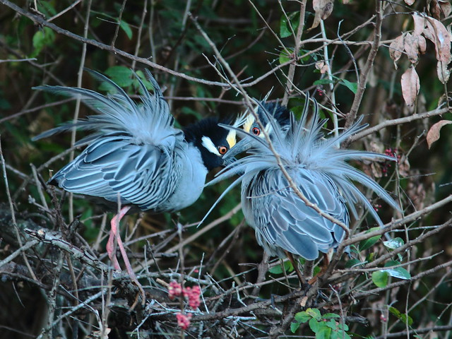 Yellow-crowned Night Heron pair displaying 7-20120304