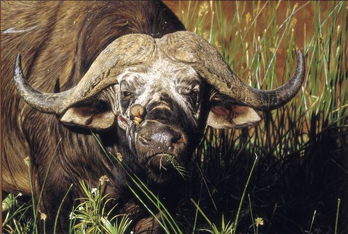 "'Buffalo Bull' oil on board 22"" x 34"""