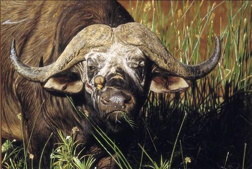 "'Buffalo Bull' oil on board 22"" x 34"""