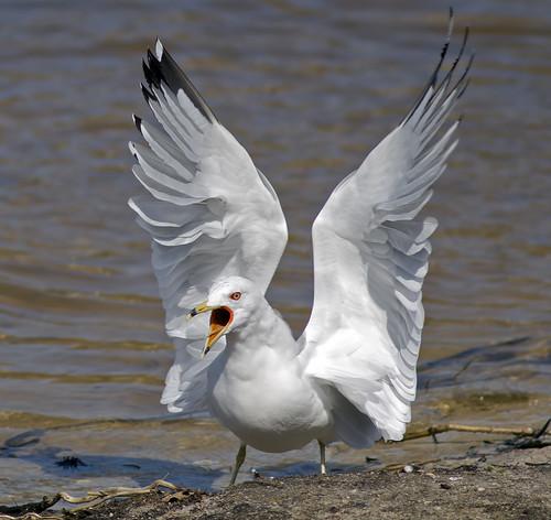 無料写真素材, 動物 , 鴎・カモメ, 動物  口を開ける