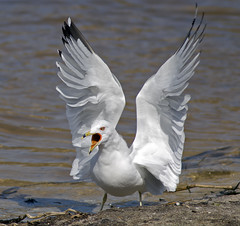 [Free Images] Animals 2, Gulls / Seagulls, Animals - Open One's Mouth ID:201203140400