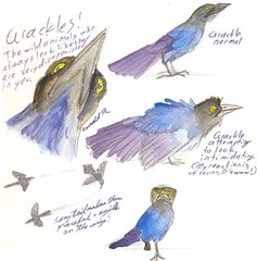 3.3.12 - Boat-Tailed Grackles!