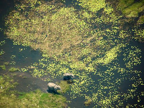 波札那奧卡萬戈三角洲的大象。(圖片:Ibontxo)