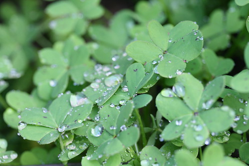 Raindrops on Clovers