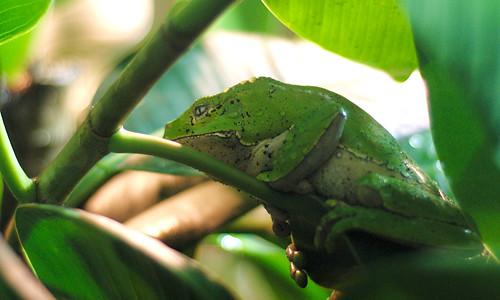 Leaf Frog, Again