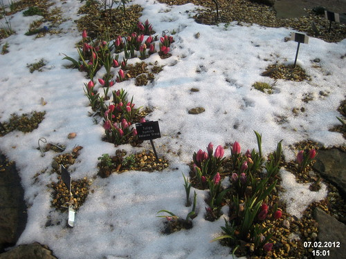Dwarf tulips in snow
