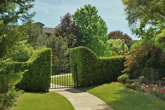 Ligustrum hedge at entry