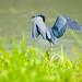 Little Blue Heron..... by Christine Kapler / PASSED AWAY