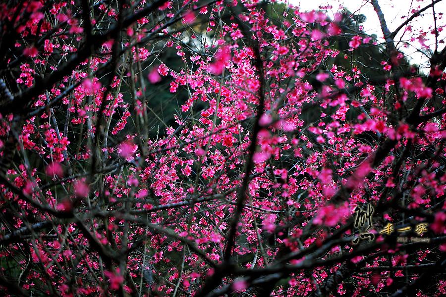 三峽櫻花季 源興堂 上清宮 福靈宮 三峽老街 緋寒櫻 吉野櫻