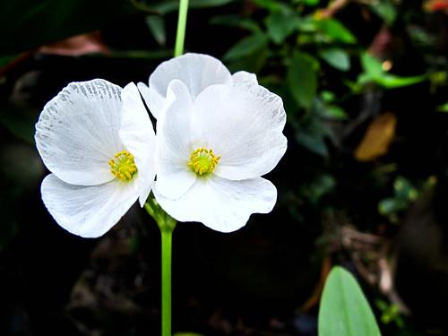 IMG_2203 White Flowers