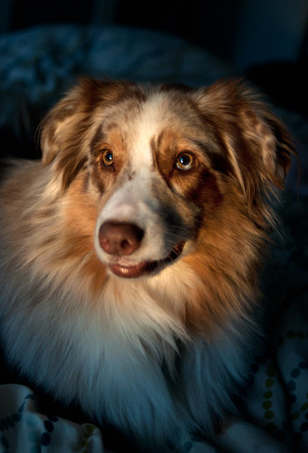 bed lowlight banjo canine australianshepherd lateafternoon alexandriava dogphotographer 52weeksfordogs petphotgrapher