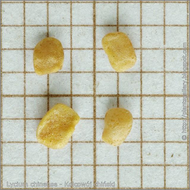 Lycium chinense seeds - Kolcowój chiński nasiona