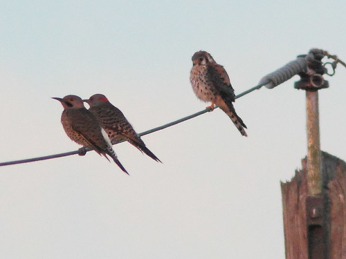 Flickers and kestrel 20120218