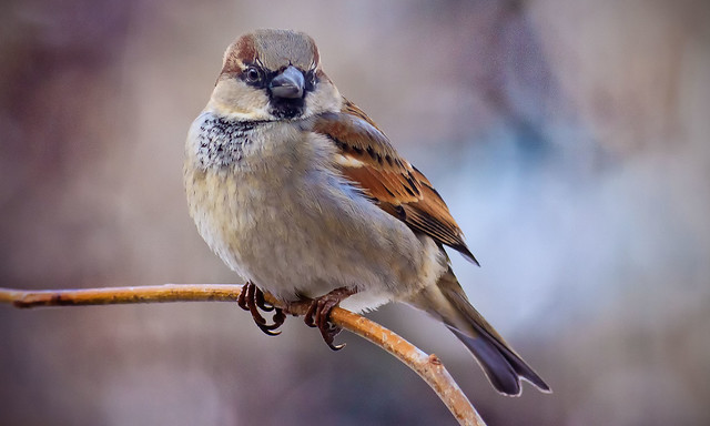 Mr. Male House Sparrow on a Branch.
