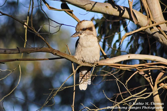 94-366 Kookaburra in early morning sun
