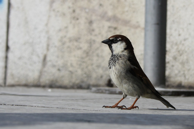 'Italian' House Sparrow- Got any bread...?