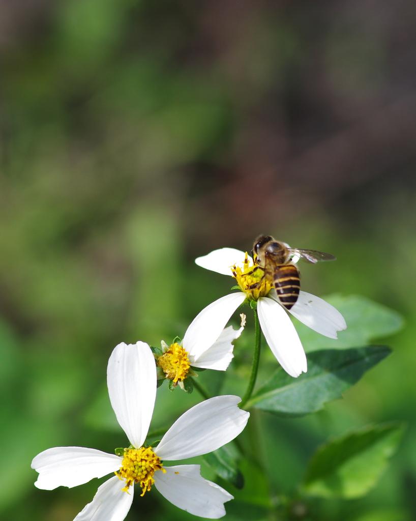 DFA 100 蜂與蝶