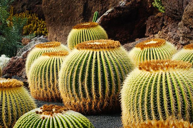 Cactus en el jard n de cactus lanzarote islas canarias for Jardin de cactus lanzarote