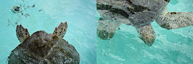 Loggerhead marine life center 6
