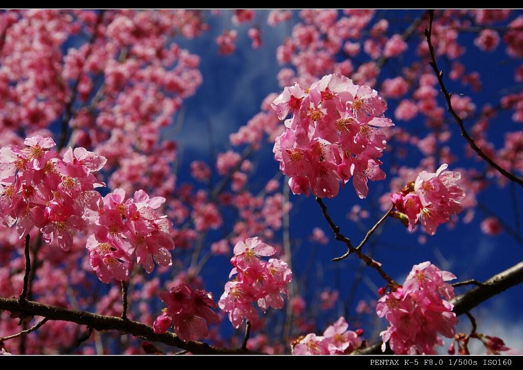 武陵賞櫻花