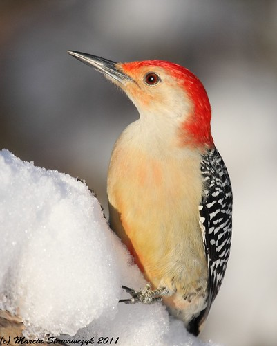 Profile of woodpecker