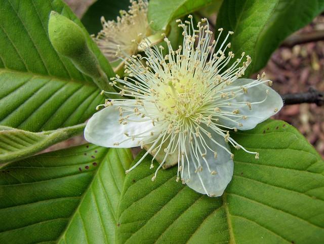 Goiaba (Psidium guajava)