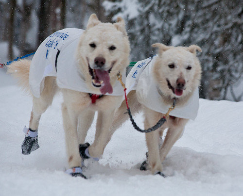 These two dogs look pretty excited about the race