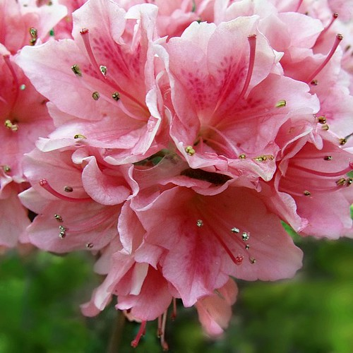 Pink Rhododendron by scilit