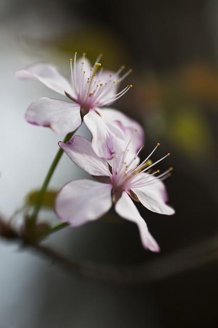 0429 Sakura