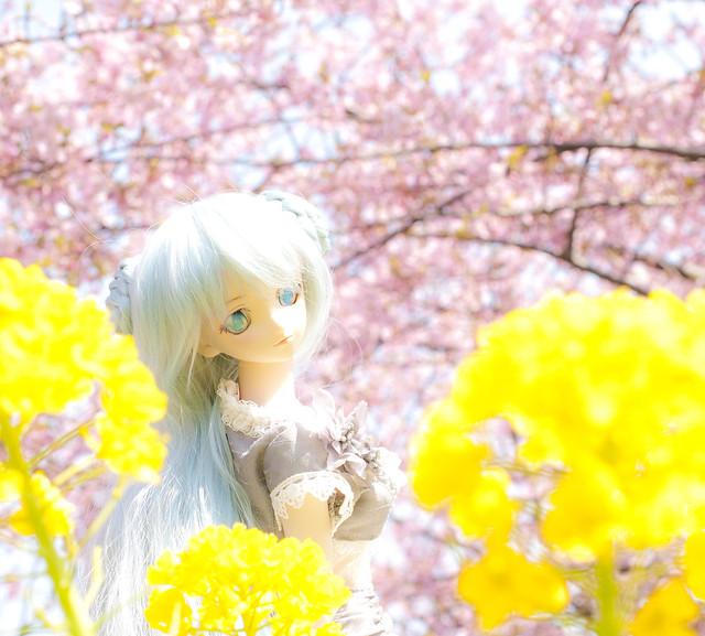 三浦半島の河津桜と