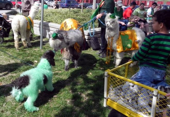 03-17-2012_Dog meets Alpaca