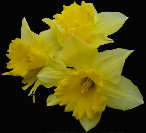 Mellow Yellow Daffodils