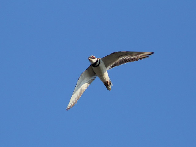 Killdeer in flight 20120404