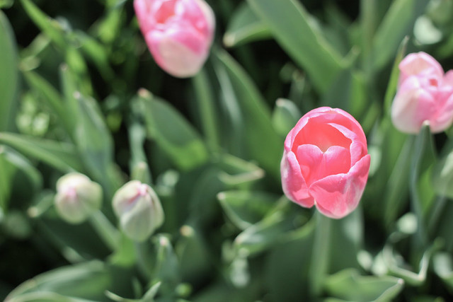 tulips more-8