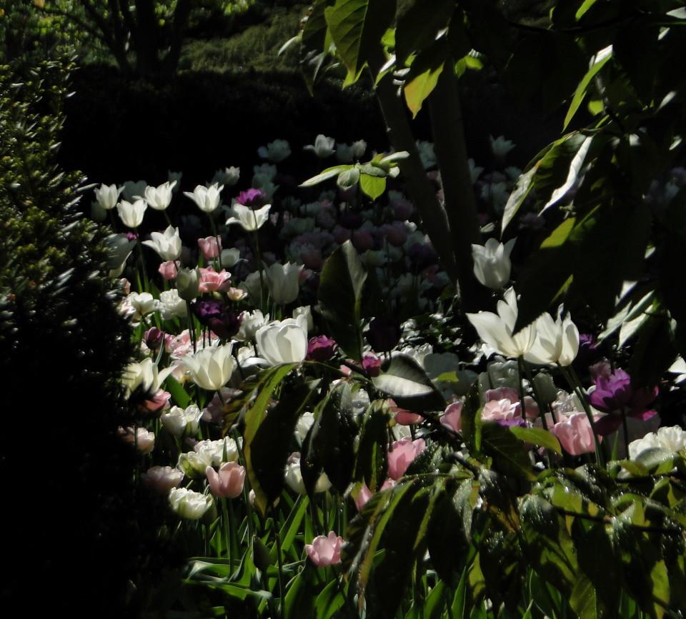 77-21apr12_3905_Botanical_garden_tulip