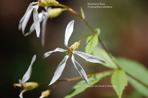 Bowman's Root, False Ipecac - Porteranthus trifoliatus