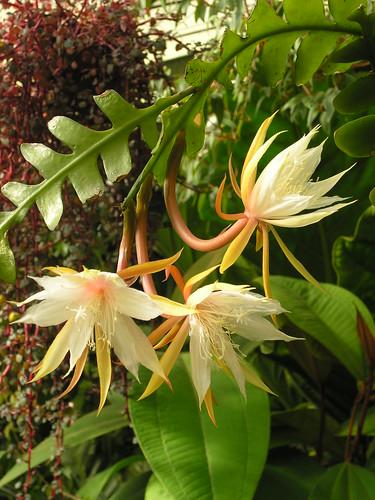 Epiphyllum anguliger 2