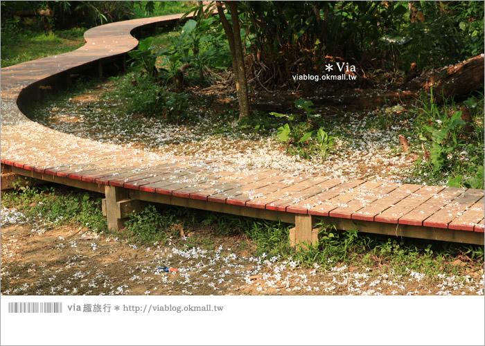 【彰化油桐花】福田桐花生態園區~雪白花毯!每年都會想再回訪的賞桐景點2