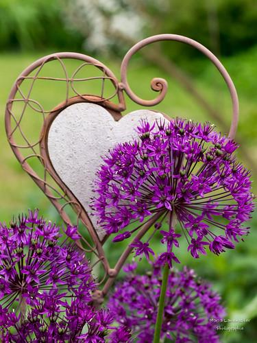 Zierlauch trifft Herz