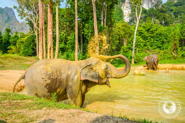 Elephant spraying water in Thailand
