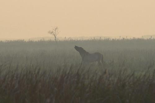 sunset zonsondergang flevoland oostvaardersplassen oostvaarders konikpaard konikhorse konikpferd
