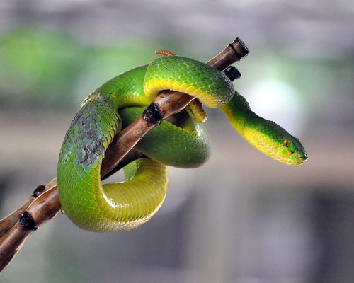 White-lipped Pitviper